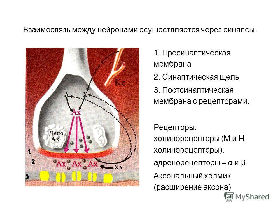 Взаимосвязь между нейронами осуществляется через синапсы. 1. Пресинаптическая мембрана 2. Синаптическая щель 3. Постсинаптическая мембрана с рецепторами. Рецепторы: холинорецепторы (М и Н холинорецепторы), адренорецепторы – α и β Аксональный холмик (
