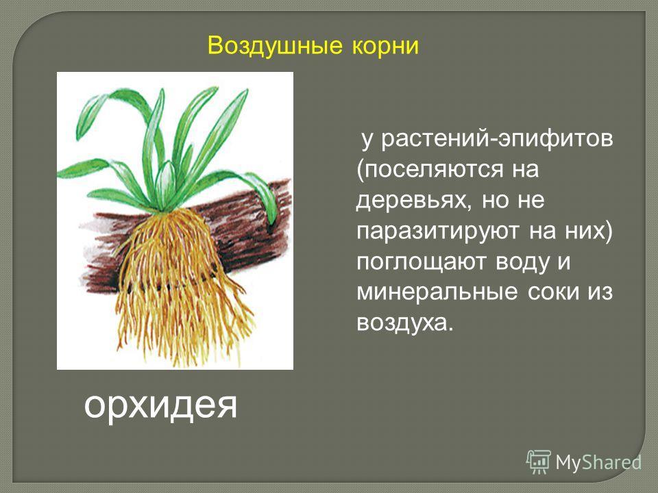 у растений-эпифитов (поселяются на деревьях, но не паразитируют на них) поглощают воду и минеральные соки из воздуха. орхидея Воздушные корни