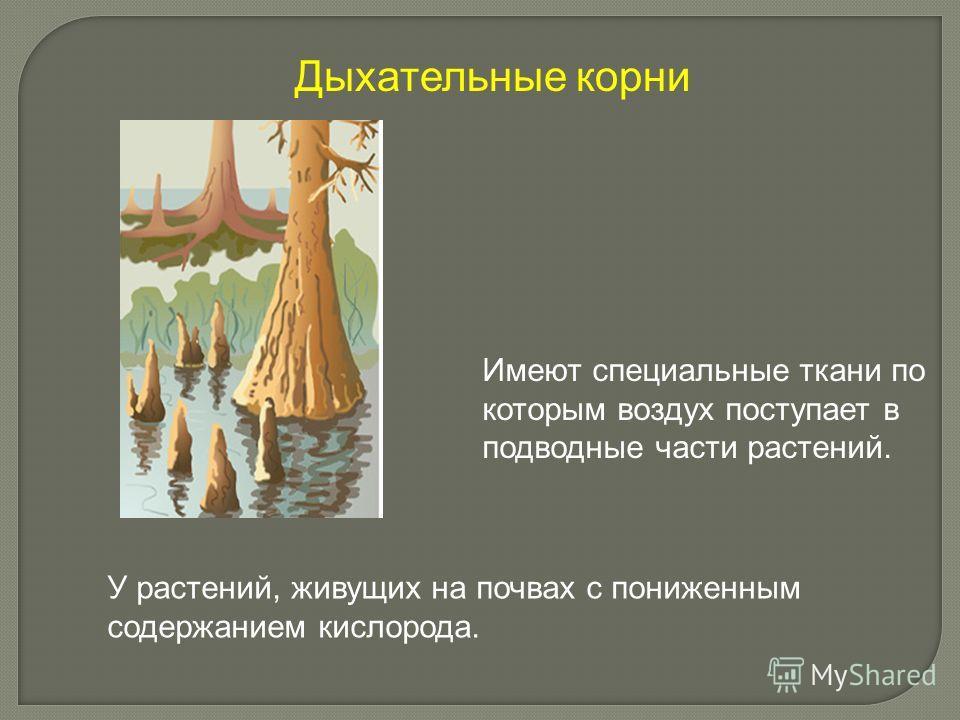 Имеют специальные ткани по которым воздух поступает в подводные части растений. У растений, живущих на почвах с пониженным содержанием кислорода. Дыхательные корни
