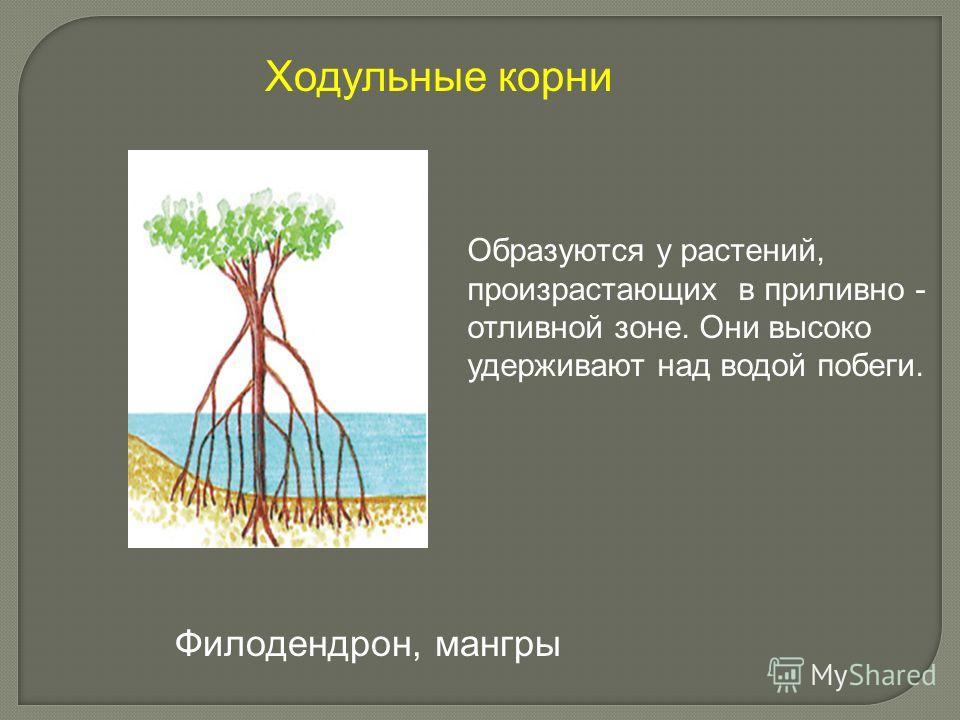 Образуются у растений, произрастающих в приливно - отливной зоне. Они высоко удерживают над водой побеги. Ходульные корни Филодендрон, мангры