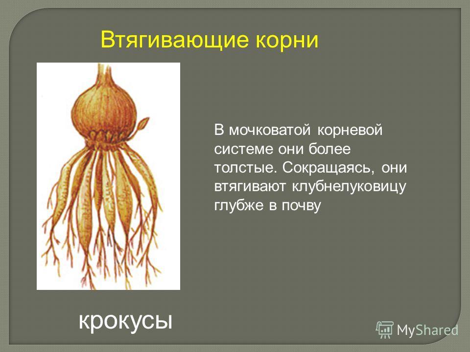 В мочковатой корневой системе они более толстые. Сокращаясь, они втягивают клубнелуковицу глубже в почву Втягивающие корни крокусы