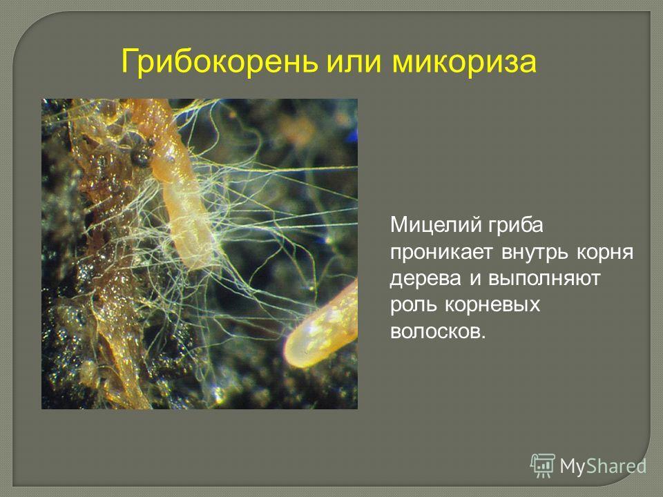Грибокорень или микориза Мицелий гриба проникает внутрь корня дерева и выполняют роль корневых волосков.