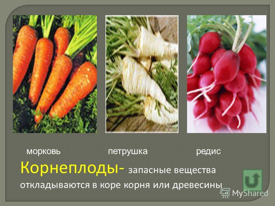 Корнеплоды- запасные вещества откладываются в коре корня или древесины морковьпетрушкаредис
