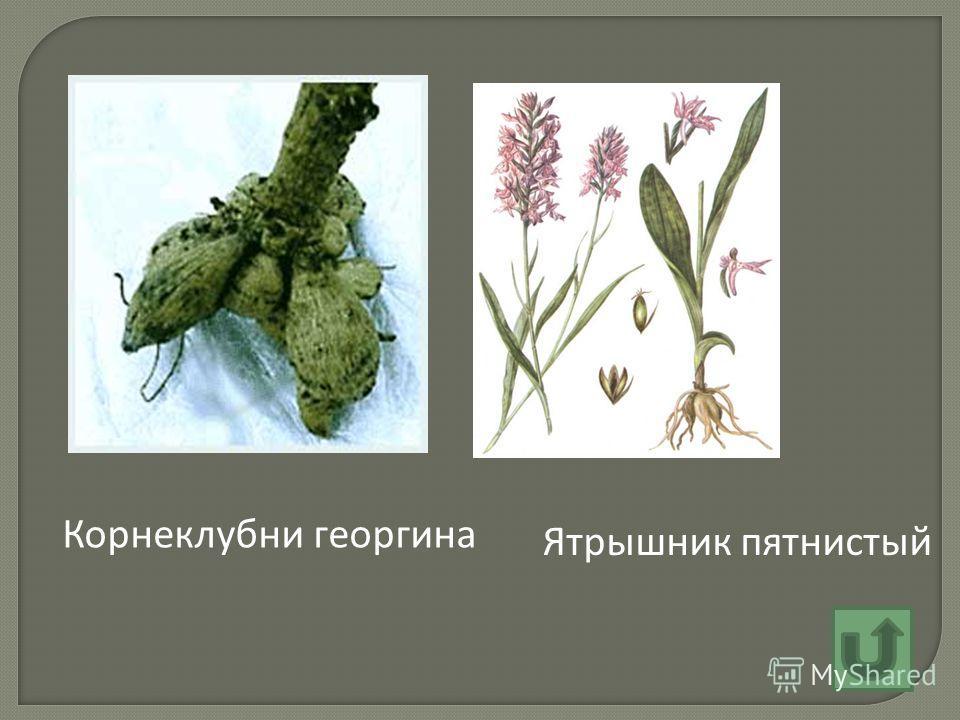 Ятрышник пятнистый Корнеклубни георгина