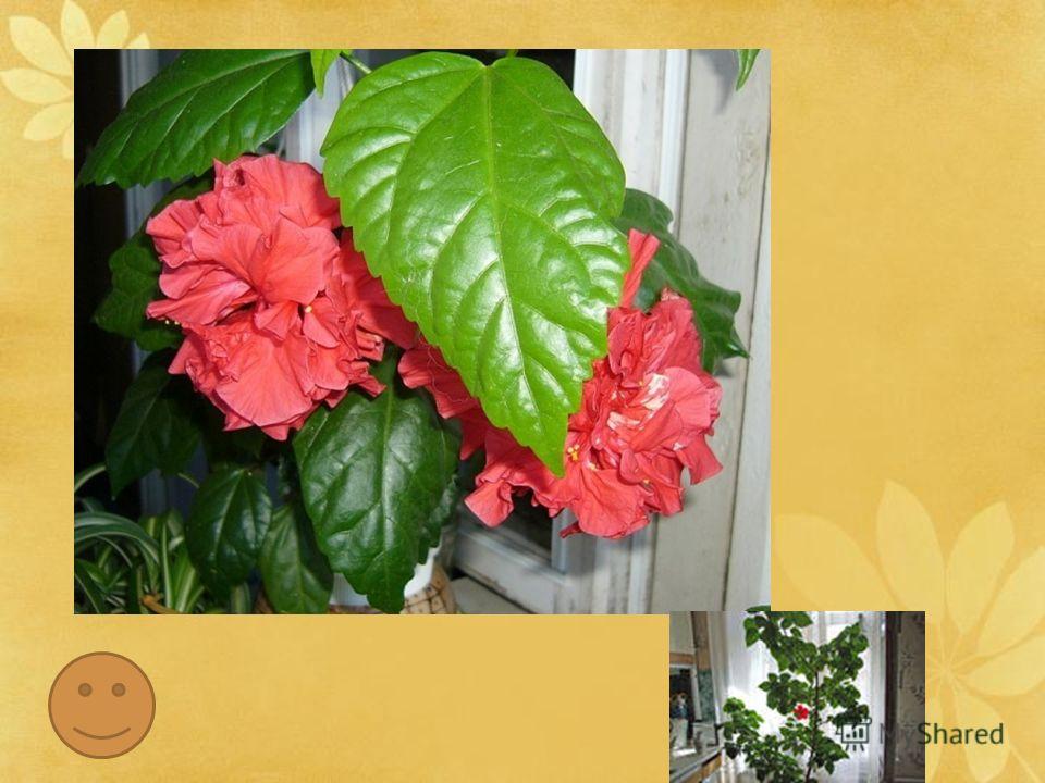 Уже вначале XVIII века это растение украшало ботанические сада Европы, покоряя посетителей пышным цветением. На Гавайских островах гибискус называют «цветком прекрасных женщин», а местные девушки часто украшают себя яркими цветками этого растения, ко