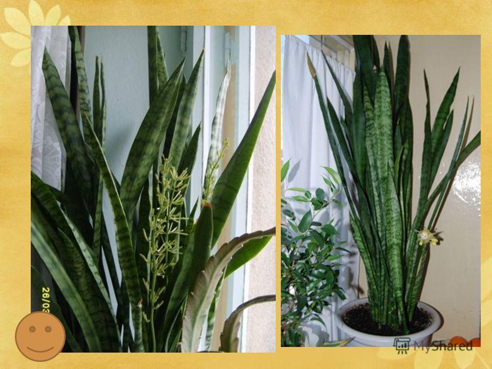 Латинское название этот род получил в честь князя фон Сансевьеро, жившего в Неаполе в XVIIIвеке. Как ни у одного комнатного растения, у сансевиерии много народных названий. В Англии ее называют «леопардовая лилия», «змеиное растение», в Америке- «зме
