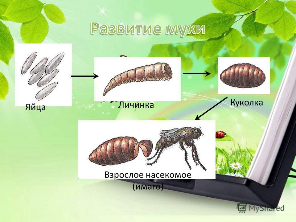 Яйца малярийного комараЯйца комара-пискуна Личинки комаров Личинка малярийного комара Личинка комара-пискуна