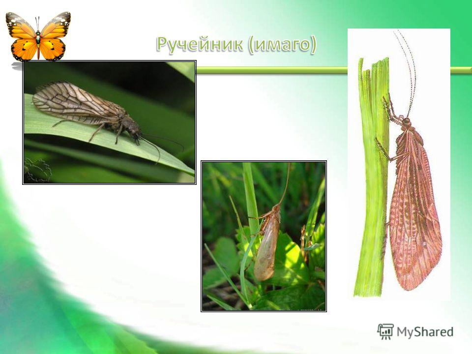 Яйца Личинка Куколка Взрослое насекомое (имаго)