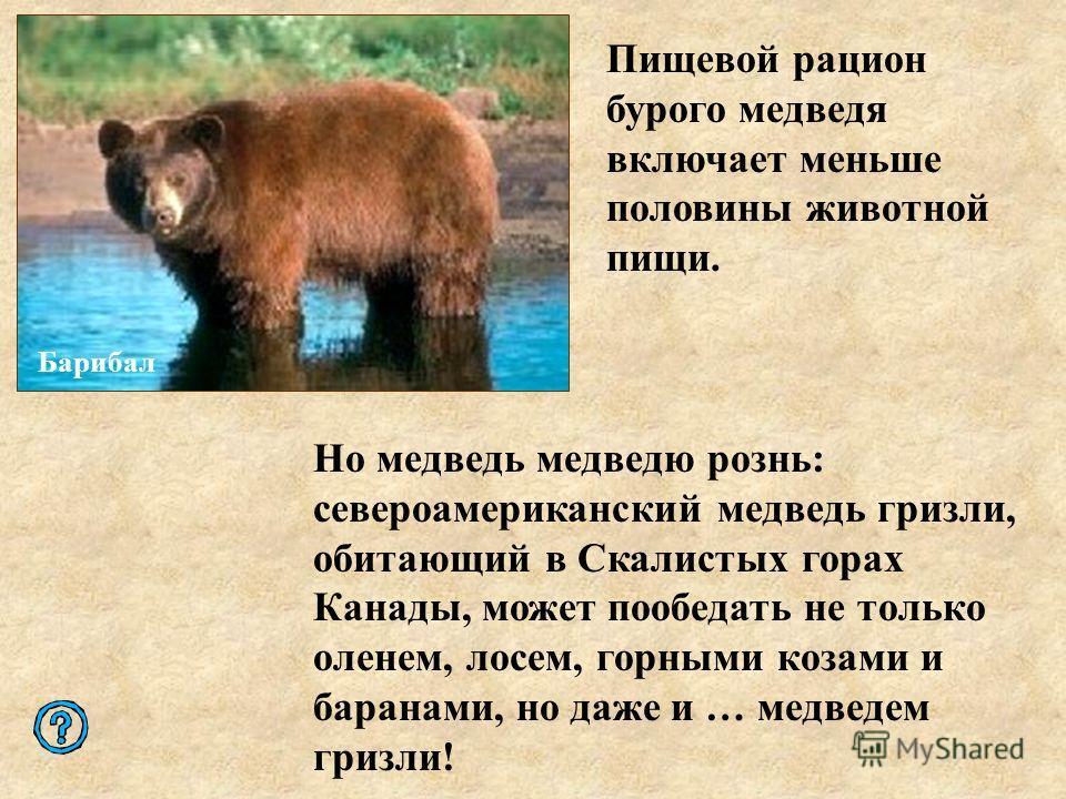 Но медведь медведю рознь: североамериканский медведь гризли, обитающий в Скалистых горах Канады, может пообедать не только оленем, лосем, горными козами и баранами, но даже и … медведем гризли! Пищевой рацион бурого медведя включает меньше половины ж