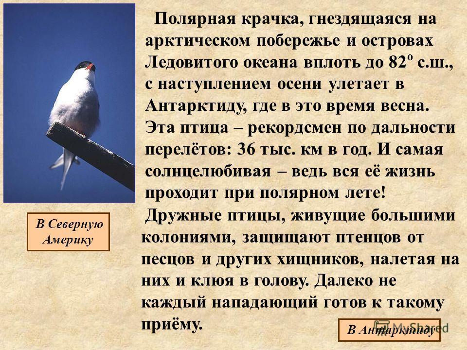Полярная крачка, гнездящаяся на арктическом побережье и островах Ледовитого океана вплоть до 82 о с.ш., с наступлением осени улетает в Антарктиду, где в это время весна. Эта птица – рекордсмен по дальности перелётов: 36 тыс. км в год. И самая солнцел