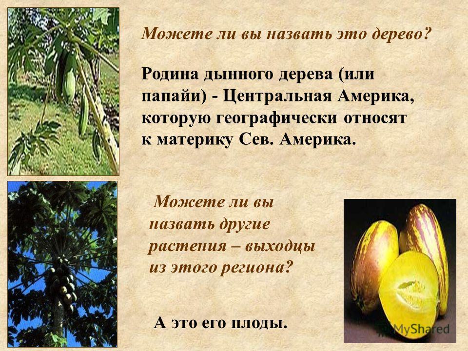 Родина дынного дерева (или папайи) - Центральная Америка, которую географически относят к материку Сев. Америка. Можете ли вы назвать это дерево? А это его плоды. Можете ли вы назвать другие растения – выходцы из этого региона?