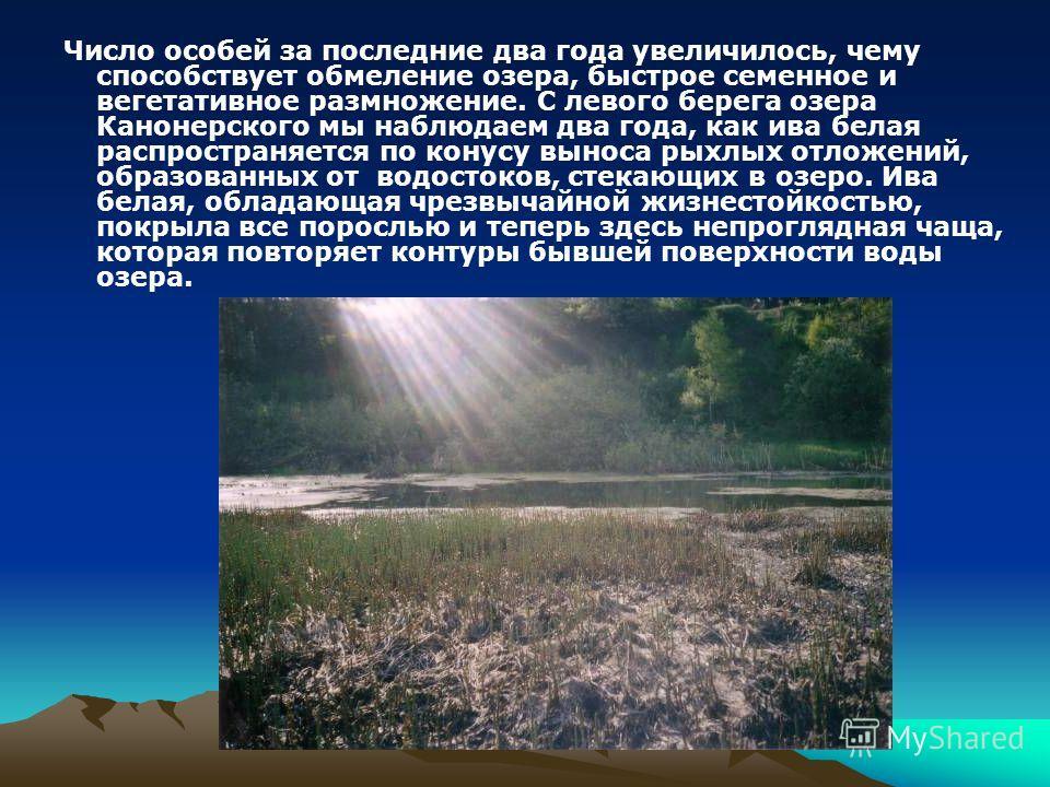 Число особей за последние два года увеличилось, чему способствует обмеление озера, быстрое семенное и вегетативное размножение. С левого берега озера Канонерского мы наблюдаем два года, как ива белая распространяется по конусу выноса рыхлых отложений