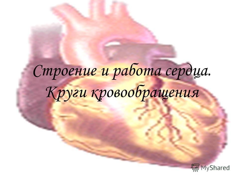 Строение и работа сердца. Круги кровообращения