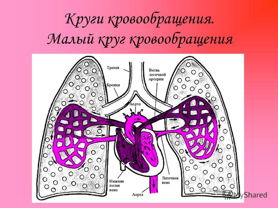 Круги кровообращения. Малый круг кровообращения