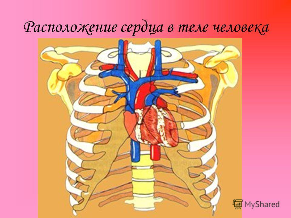 Расположение сердца в теле человека