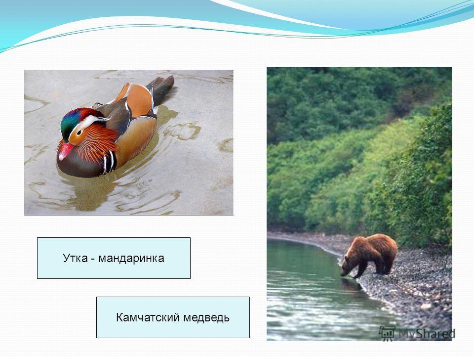 Утка - мандаринка Камчатский медведь