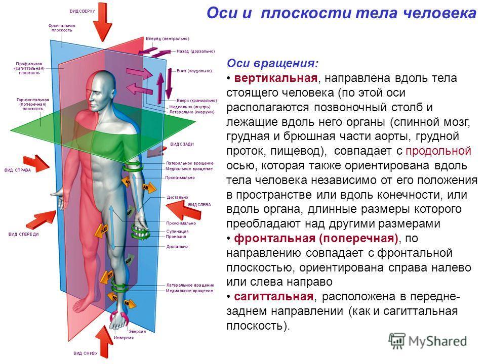 Оси и плоскости тела человека Оси вращения: вертикальная, направлена вдоль тела стоящего человека (по этой оси располагаются позвоночный столб и лежащие вдоль него органы (спинной мозг, грудная и брюшная части аорты, грудной проток, пищевод), совпада