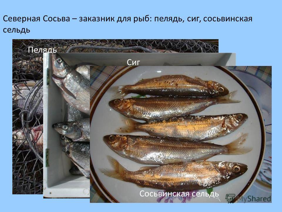 Северная Сосьва – заказник для рыб: пелядь, сиг, сосьвинская сельдь Пелядь Сиг Сосьвинская сельдь