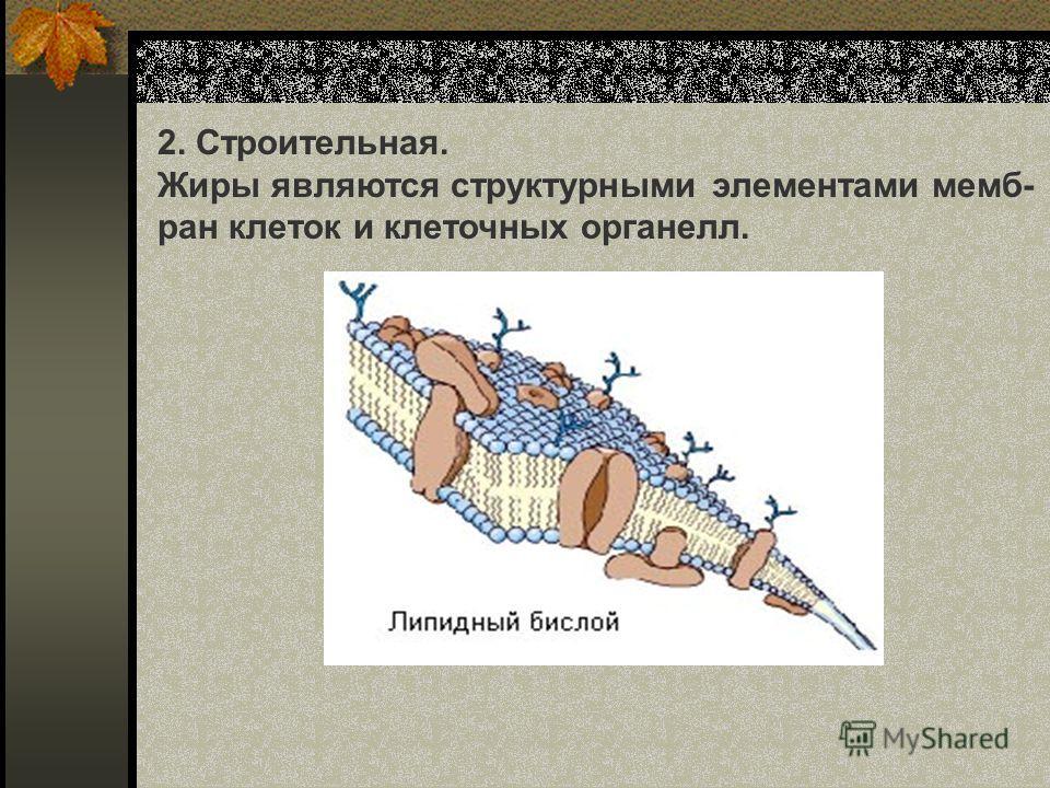 2. Строительная. Жиры являются структурными элементами мемб- ран клеток и клеточных органелл.