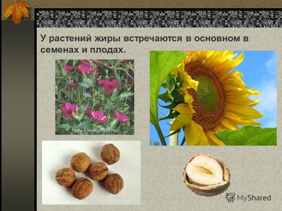 У растений жиры встречаются в основном в семенах и плодах.