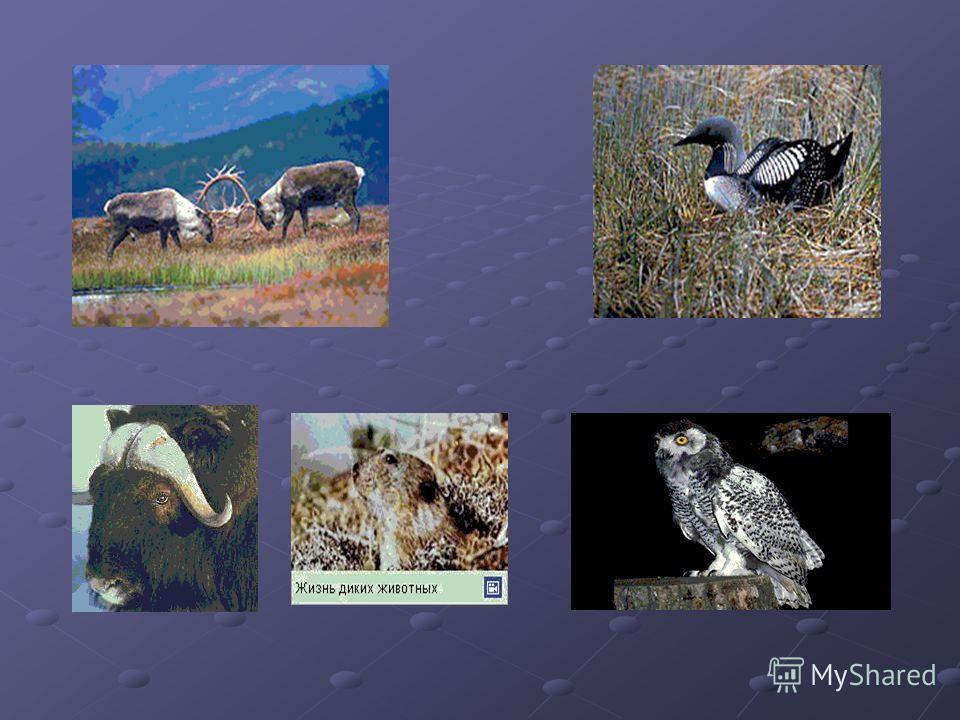 Животный мир Довольно бедный животный мир тундры сложился в период оледенения, что определяет его относительную молодость и наличие эндемиков, а также видов, связанных с морем (птицы, живущие на птичьих базарах; белый медведь, лежбища ластоногих ). Ж