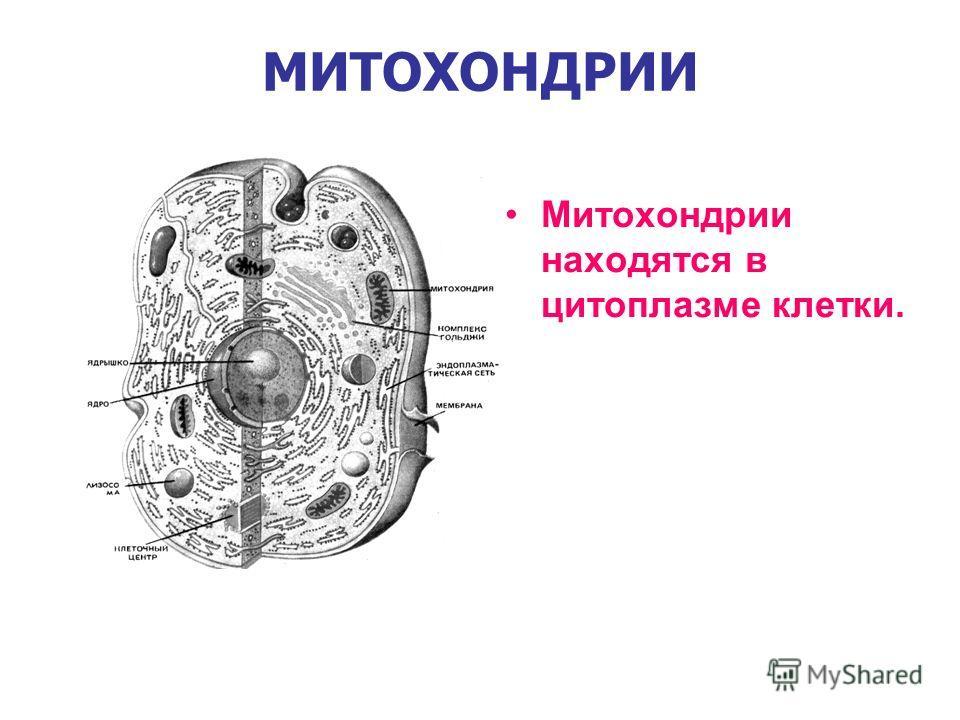 МИТОХОНДРИИ Митохондрии находятся в цитоплазме клетки.