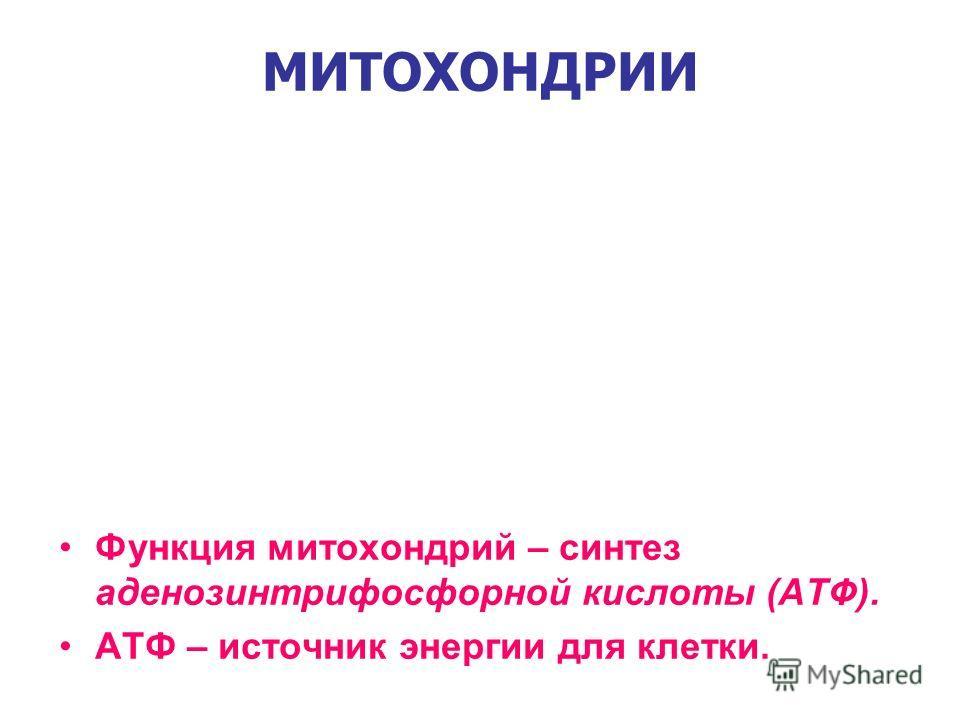 МИТОХОНДРИИ Функция митохондрий – синтез аденозинтрифосфорной кислоты (АТФ). АТФ – источник энергии для клетки.