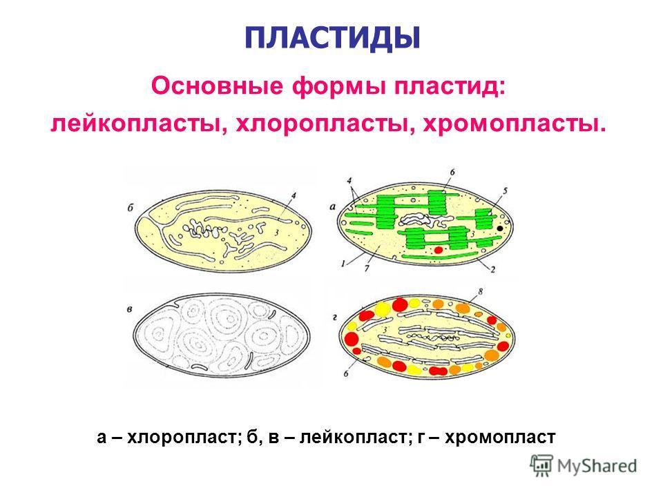ПЛАСТИДЫ Основные формы пластид: лейкопласты, хлоропласты, хромопласты. а – хлоропласт; б, в – лейкопласт; г – хромопласт