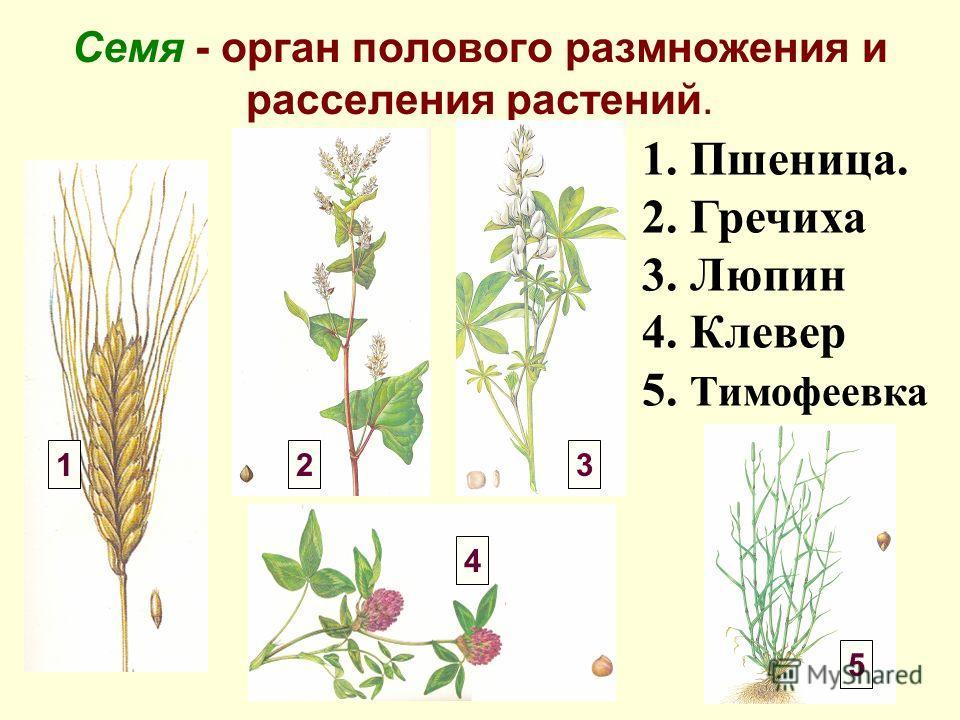 Семя - орган полового размножения и расселения растений. 1. Пшеница. 2. Гречиха 3. Люпин 4. Клевер 5. Тимофеевка 123 4 5