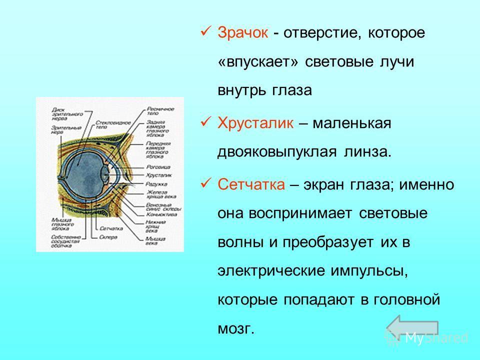 Зрачок - отверстие, которое «впускает» световые лучи внутрь глаза Хрусталик – маленькая двояковыпуклая линза. Сетчатка – экран глаза; именно она воспринимает световые волны и преобразует их в электрические импульсы, которые попадают в головной мозг.
