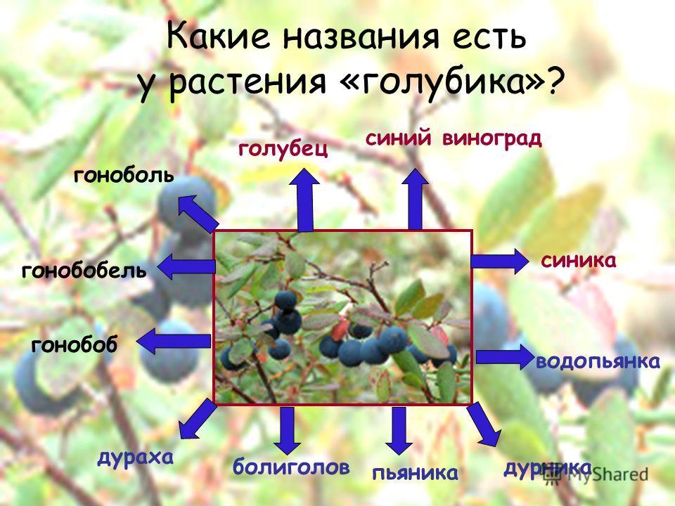 Какие названия есть у растения «голубика»? гонобоб гонобобель дураха болиголов пьяника водопьянка дурника синика голубец синий виноград гоноболь