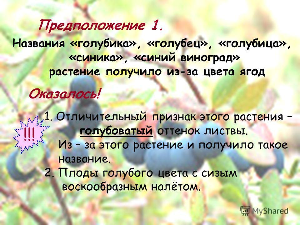 Предположение 1. Названия «голубика», «голубец», «голубица», «синика», «синий виноград» растение получило из-за цвета ягод Оказалось! 1. Отличительный признак этого растения – голубоватый оттенок листвы. Из – за этого растение и получило такое назван