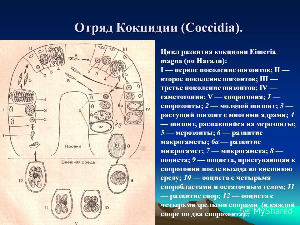 Отряд Кокцидии (Coccidia). Цикл развития кокцидии Eimeria magna (по Натали): I первое поколение шизонтов; II второе поколение шизонтов; III третье поколение шизонтов; IV гаметогония; V спорогония; 1 спорозоиты; 2 молодой шизонт; 3 растущий шизонт с м