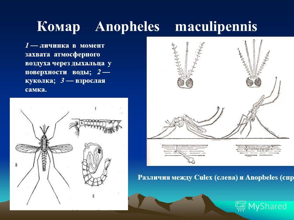 Комар Anopheles maculipennis Различия между Culex (слева) и Anopbeles (справа). 1 личинка в момент захвата атмосферного воздуха через дыхальца у поверхности воды; 2 куколка; 3 взрослая самка.