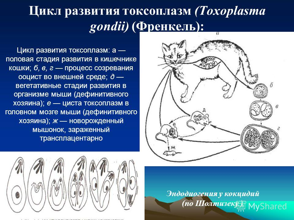 Цикл развития токсоплазм (Toxoplasma gondii) (Френкель): Цикл развития токсоплазм: а половая стадия развития в кишечнике кошки; б, в, г процесс созревания ооцист во внешней среде; д вегетативные стадии развития в организме мыши (дефинитивного хозяина