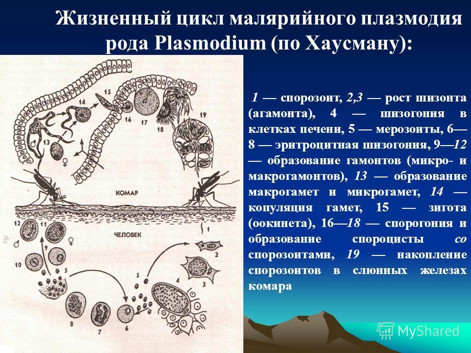 Жизненный цикл малярийного плазмодия рода Plasmodium (по Хаусману): 1 спорозоит, 2,3 рост шизонта (агамонта), 4 шизогония в клетках печени, 5 мерозоиты, 6 8 эритроцитная шизогония, 912 образование гамонтов (микро- и макрогамонтов), 13 образование мак
