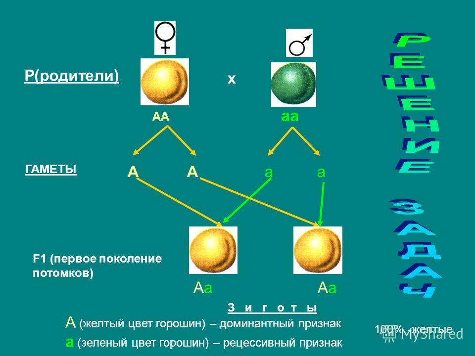 Р(родители) х АА аа А А а а ГАМЕТЫ Аа Аа F1 (первое поколение потомков) А (желтый цвет горошин) – доминантный признак а (зеленый цвет горошин) – рецессивный признак 100% -желтые З и г о т ы