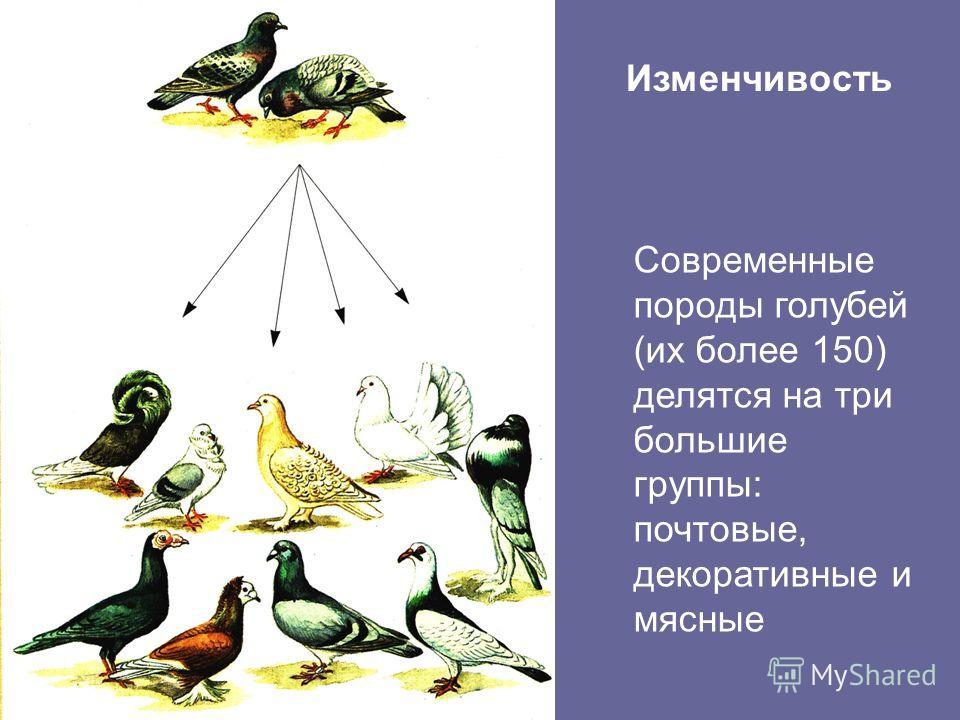 Современные породы голубей (их более 150) делятся на три большие группы: почтовые, декоративные и мясные Изменчивость