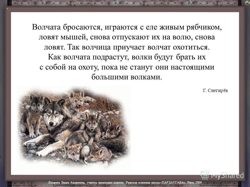 Волки живут и в лесах, и в жарких пустынях, и в холодной тундре. Зимой волки собираются в стаи. Вожак в стае – самый сильный и опытный волк. Он выводит стаю на охоту. Летом волк ест землянику, голубику, а почует тетёрку на гнезде, подползёт к ней тих