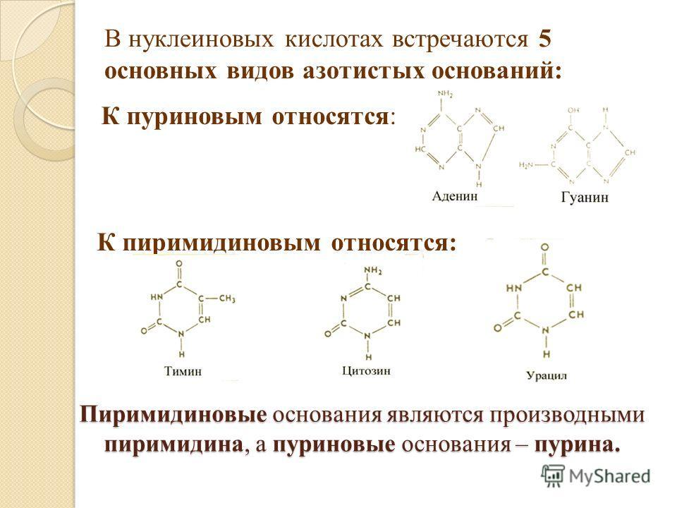 Пиримидиновые основания являются производными пиримидина, а пуриновые основания – пурина. В нуклеиновых кислотах встречаются 5 основных видов азотистых оснований: К пуриновым относятся: К пиримидиновым относятся: