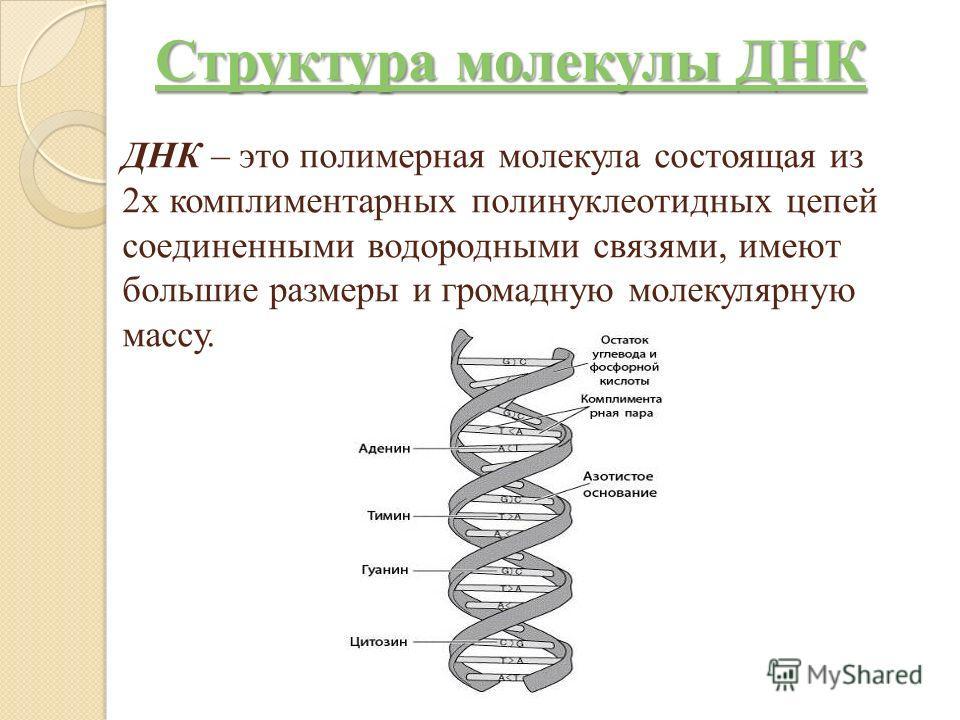 ДНК – это полимерная молекула состоящая из 2х комплиментарных полинуклеотидных цепей соединенными водородными связями, имеют большие размеры и громадную молекулярную массу. Структура молекулы ДНК Структура молекулы ДНК