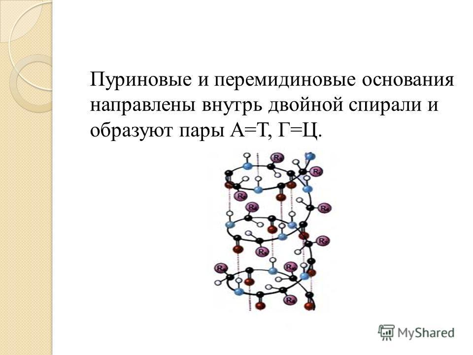 Пуриновые и перемидиновые основания направлены внутрь двойной спирали и образуют пары А=Т, Г=Ц.