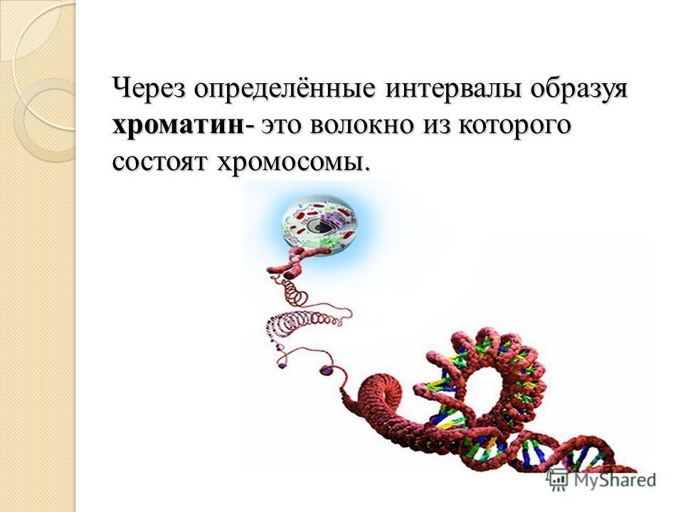 Через определённые интервалы образуя хроматин- это волокно из которого состоят хромосомы.