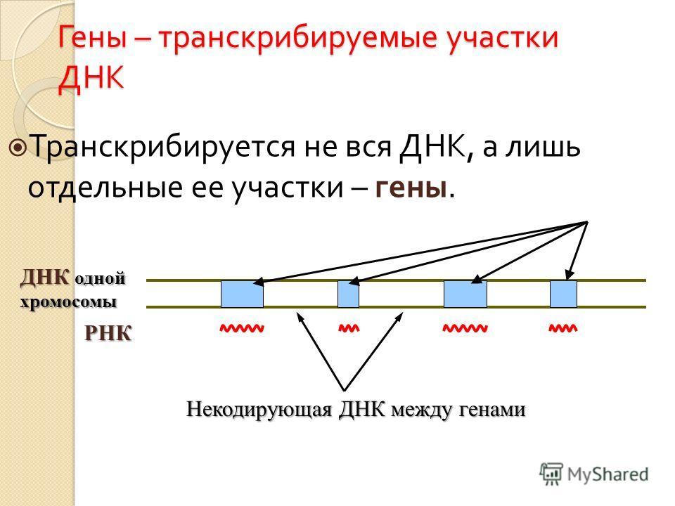 Гены – транскрибируемые участки ДНК Транскрибируется не вся ДНК, а лишь отдельные ее участки – гены. ДНК одной хромосомы РНК Некодирующая ДНК между генами