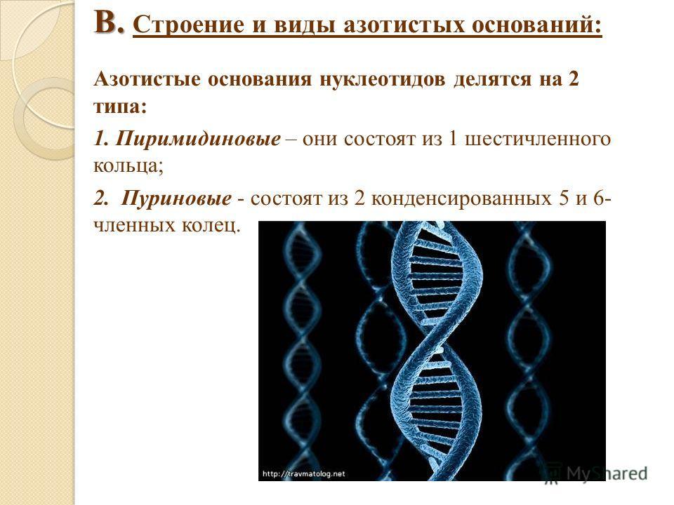 В. В. Строение и виды азотистых оснований: Азотистые основания нуклеотидов делятся на 2 типа: 1. Пиримидиновые – они состоят из 1 шестичленного кольца; 2. Пуриновые - состоят из 2 конденсированных 5 и 6- членных колец.