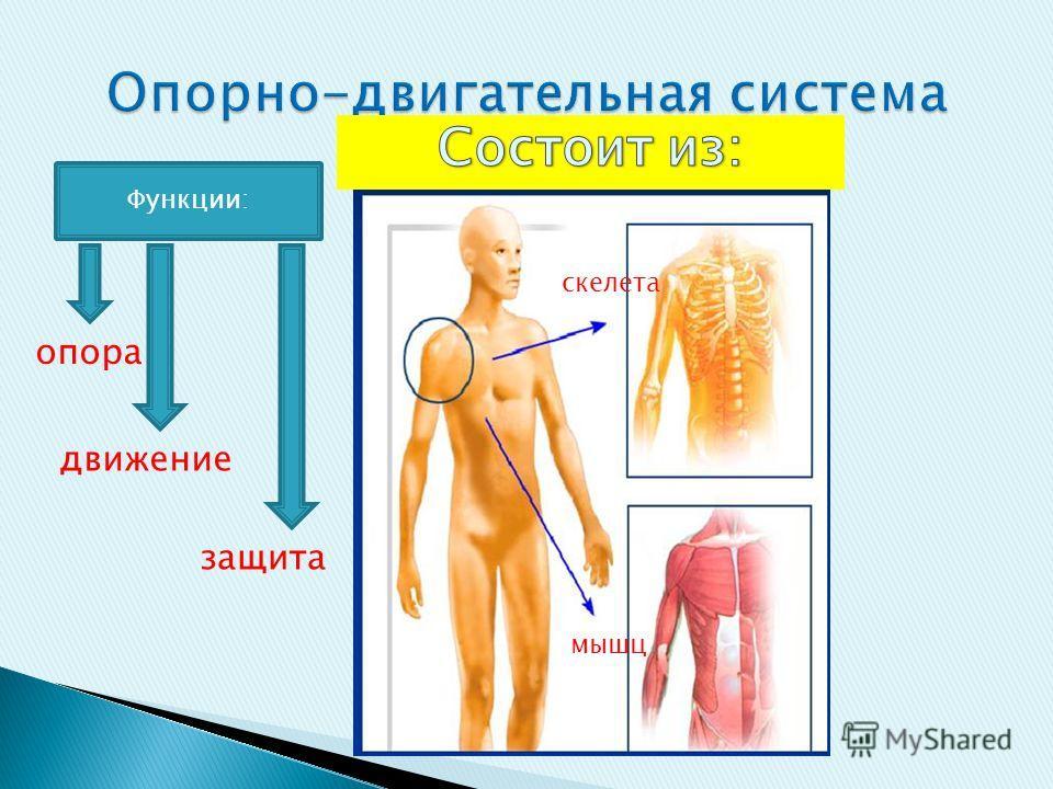 скелета мышц Функции: опора движение защита