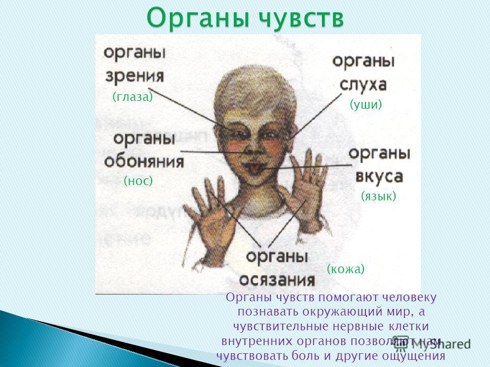 (глаза) (уши) (нос) (язык) (кожа) Органы чувств помогают человеку познавать окружающий мир, а чувствительные нервные клетки внутренних органов позволяют нам чувствовать боль и другие ощущения