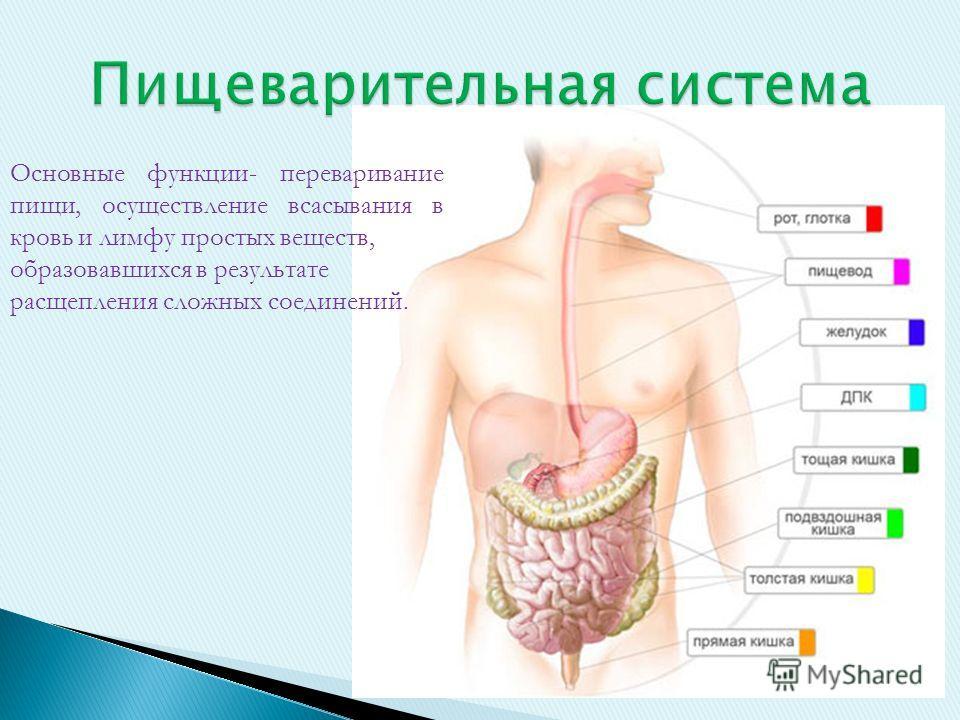 Основные функции- переваривание пищи, осуществление всасывания в кровь и лимфу простых веществ, образовавшихся в результате расщепления сложных соединений.