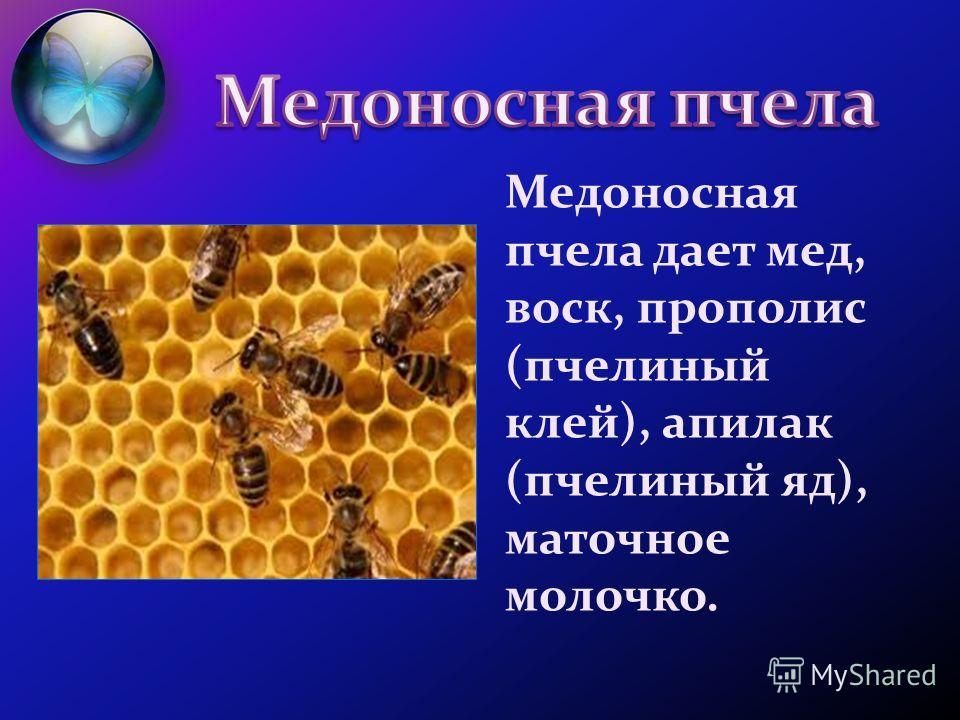 Медоносная пчела дает мед, воск, прополис (пчелиный клей), апилак (пчелиный яд), маточное молочко.