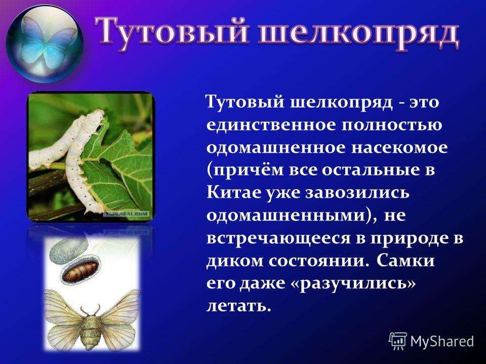 Тутовый шелкопряд - это единственное полностью одомашненное насекомое (причём все остальные в Китае уже завозились одомашненными), не встречающееся в природе в диком состоянии. Самки его даже «разучились» летать.
